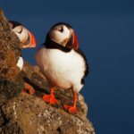 Island – Papageientaucher
